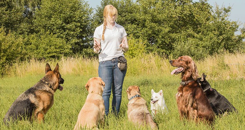 My Dog Knows How To Sit Why Should I Continue Obedience Training Pack Of Paws Professional Dog Training
