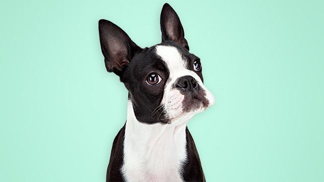 Boston Terrier 178 High Resolution Wallpaper